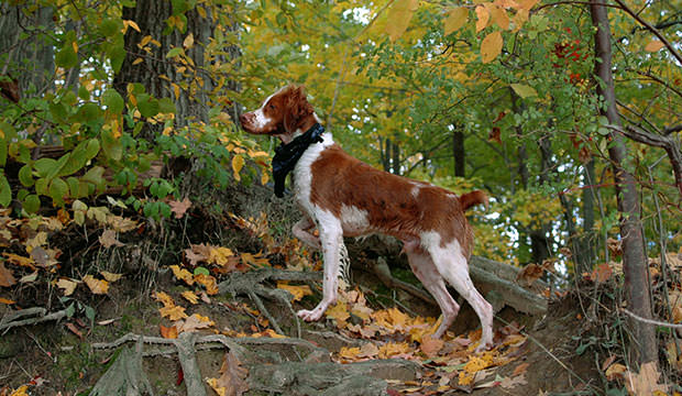 bigstock-Brittany-Dog-Pointing-1690266