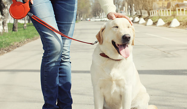 This happy labrador retriever is a perfect companion for loners