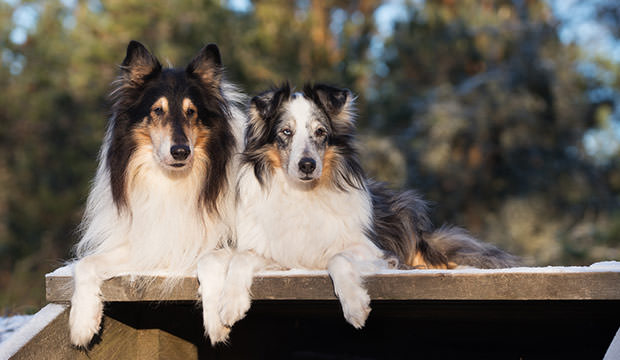 bigstock-two-rough-collie-dog-lying-dow-113170529