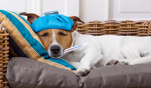 bigstock-sick-ill-dog-with-fever-132451514