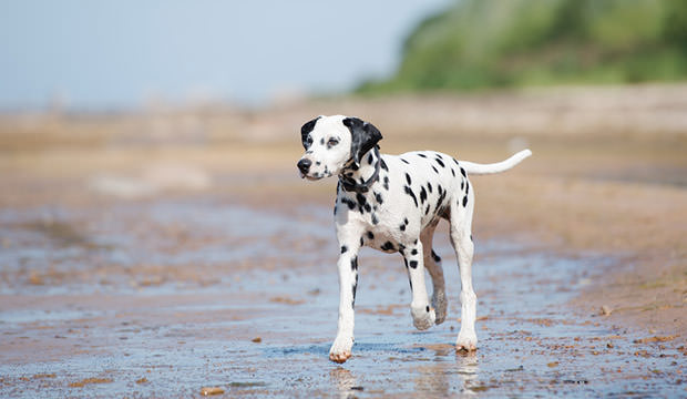 Lone dalmatian on the beach